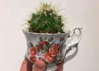 A small little cactus in a fancy teacup